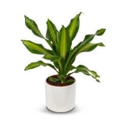 צמח דרצנה